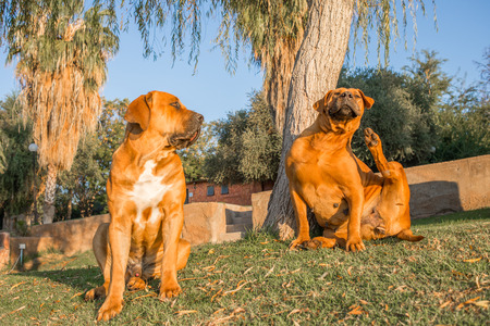 boerboel dog: Two Boerboel dogs sit close to each other on a green lawn on a pleasant summer morning.