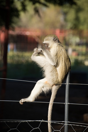 Cheeky vervet monkey balancing and playing on a farm fence.