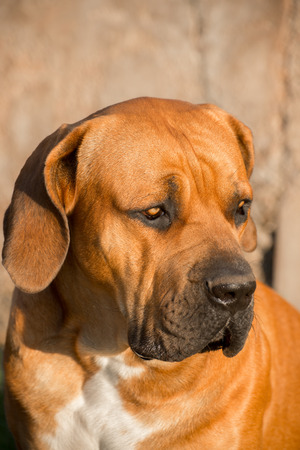 boerboel dog: Portrait of a young male Boerboel dog looking towards his left.