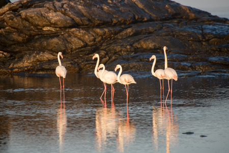 photosynthetic: Flamingos feed in a tidal pool by the ocean at Dias Point in Namibia.
