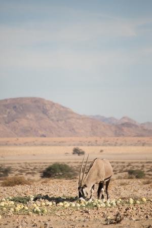 A single oryx eats desert melons in the Namib desert. Stock Photo