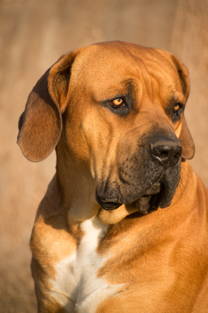 boerboel dog: Portrait of a young male Boerboel dog as it looks towards its left.