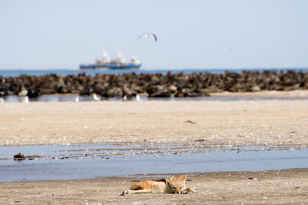 monogamous: A Black Back Jackal lie patiently and wait on the beach near Pelican Point at Walvis Bay near by a seal colony.