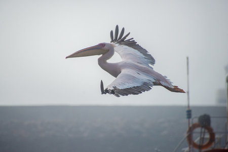 poach: A pelican is in flight in the harbour at Walvis Bay, Namibia.