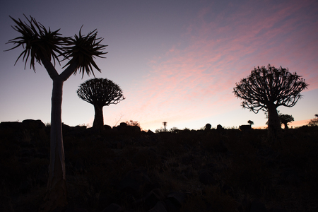 silhoutted: Silhoutted quivertrees stand in front of a colourful sunset at the quiver tree forest near Keetmanshoop in Namibia.