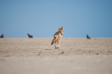 monogamous: A black Back Jackal walks across the sand of Pelican Point towards some seals in the distance.