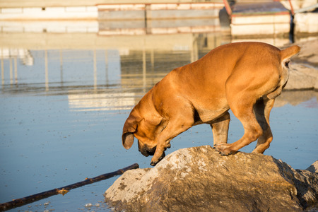 boerboel dog: A young male Boerboel dog balances on a rock as it prepaires to fetch a stick from the river.