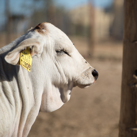 Portait of a young Brahman bull with yellow marker in ear.