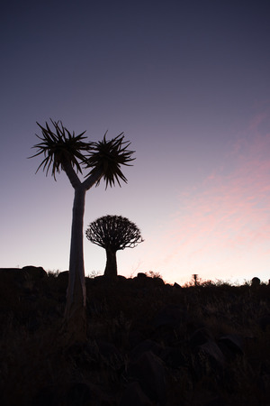 quiver: The silhouette of two quiver trees are visible in front of a setting sun.