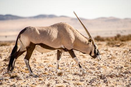A single Oryx antelope walks along in the Namib desert.
