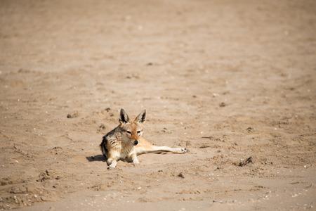 monogamous: A black back jackal lies on the sandy beach of Pelican Point, Walvisbay.