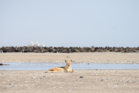 monogamous: A black back jackal rest on the beach near a colony of seals at Pelican Point, Walvis Bay.