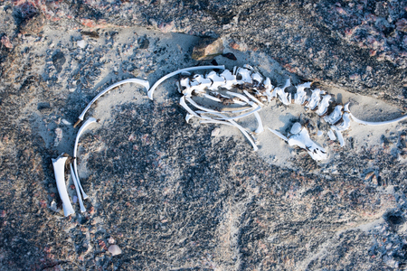 heritage protection: The remains of the skeleton of a seal lie in the sand and rocks.
