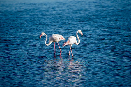 photosynthetic: Two flamingos search for food in the shallow waters at Walvis Bay.