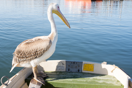 poach: A young pelican sit on the edge of a dingy at Walvis Bay.