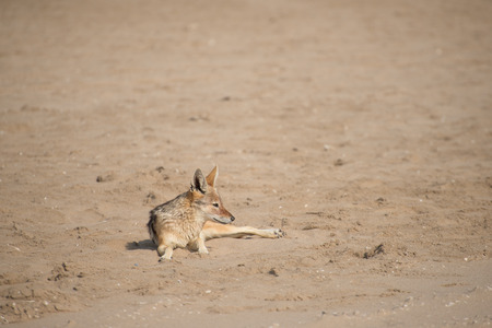 monogamous: A black back Jackal lies on the sand as viewed from a high angle.