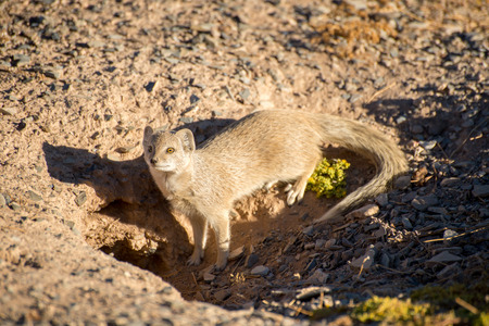 weary: A weary Yellow Mongoose watches nervously from its burrow for any empeeding danger. Stock Photo