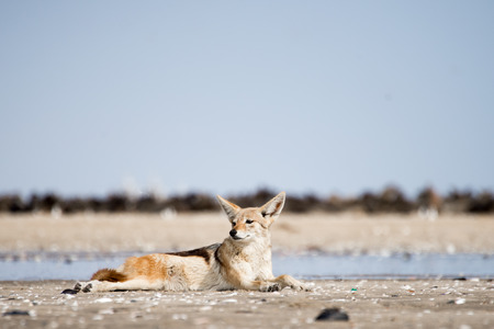 A black back jackal rests on the sand in front of a colony of seals at Pelican Point in Walvis Bay, Namibia.