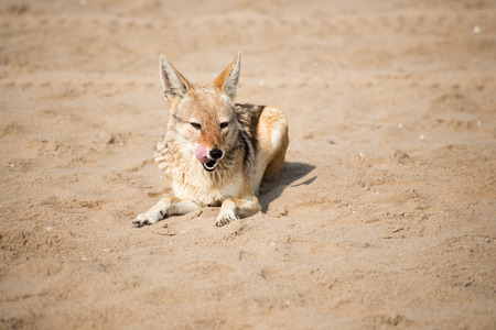 A black back jackal lies on the beach sand while licking its lips.