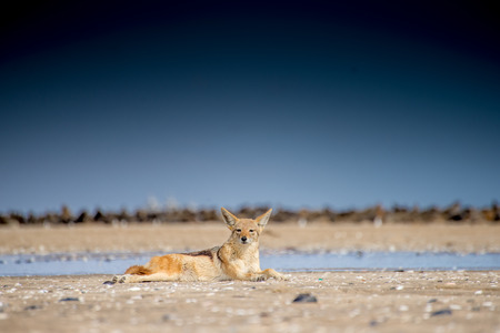 A black back jackal lies on the beach sand in front of a colony of seals at Pelican Point near Walvis Bay in Namibia while looking towards the viewer.