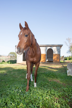 Full length portrait of a brown Arabian horse in front of the horse stables. Stock Photo