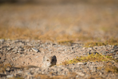 weary: A weary Yellow Mongoose watches nervously from its burrow for any  danger. Stock Photo