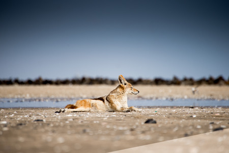 A black back jackal lies in the soft sunlight on the beach at Pelican Point near Walvis Bay in front of a colony of seals.