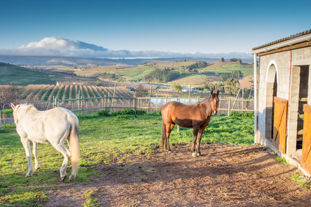 groomed: Two horses, one white, one brown, stand in front of a stunning apple farm and mountain landscape by the stables early in the morning. Stock Photo