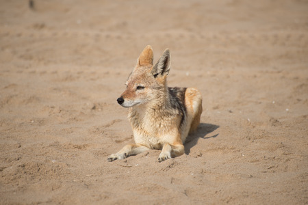 monogamous: A black back jackal lies in the soft sunlight on the beach at Pelican Point near Walvis Bay.