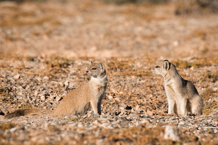 weary: Two weary Yellow Mongoose watche nervously from their  burrow for any danger nearby.