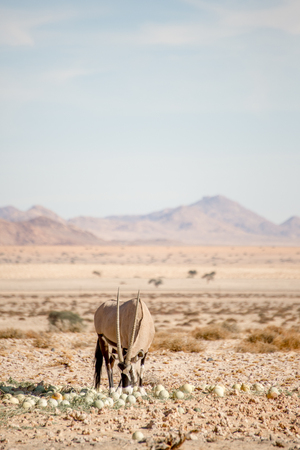 A single oryx eats desert melons in the Namib desert plains with the Mountains behind. Stock Photo