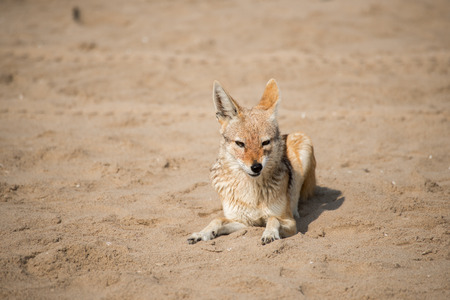 A black back jackal lies on the beach sand while sniffing the air with its nose at Pelican Point near Walvis Bay in Namibia Stock Photo