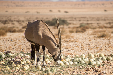 A single oryx smells at a desert melon at the wild horses view point near Aus. Stock Photo
