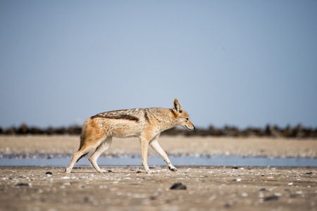 A black back jackal walks along the beach in front of a colony of seals at Pelican Point near Walvis Bay in Namibia. Stock Photo