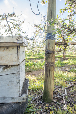 increase fruit: A bee hive is placed near pear trees in blossom during early spring.