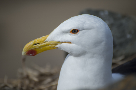An up close view of the head of a seagull as she lies on her eggs in her nest in the rocks near the ocean.