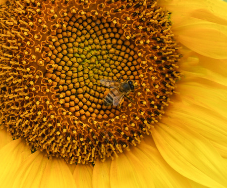 An up close view of a golden yellow sunflower in a field with honey bee