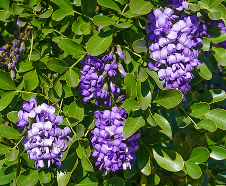 An up close view of purple Texas Mountain Laurel