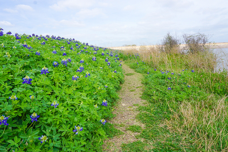 A Trail Lined with Bluebonnets along Brush Creek Lake in Texas Stock Photo