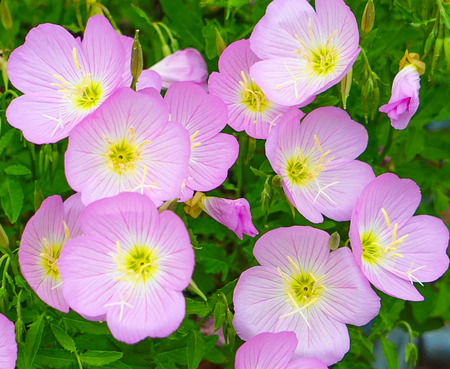 Mexican Primrose Flower Blossoms (Oenothera Speciosa) also known as Pink Evening Primrose