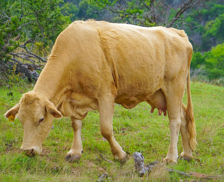 A Female Cow in a Pasture Grazing Reklamní fotografie