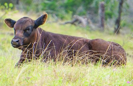 A Dark Brown Calf sitting  in a pasture Reklamní fotografie