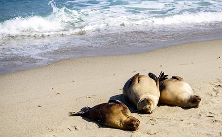 Sea Lions basking in the sun on the coastline off the California Coast 版權商用圖片