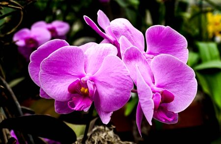 An isolated stem of purple phalaenopsis orchid