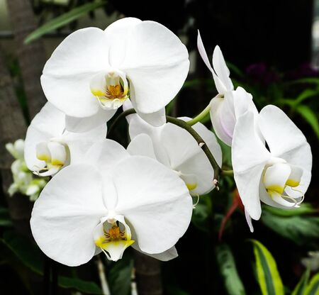 An isolated stem of white orchid blooming 免版税图像