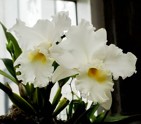 Isolated white orchids