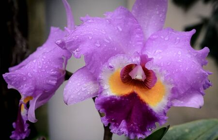 An isolated purple orchid 免版税图像