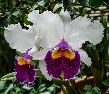 An isolated white and purple  orchid with water drops 免版税图像