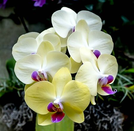 An isolated branch of yellow and white orchid blooms Stock Photo