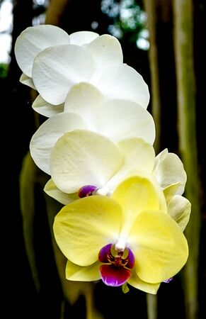 An isolated stem of yellow and white orchid blossoms